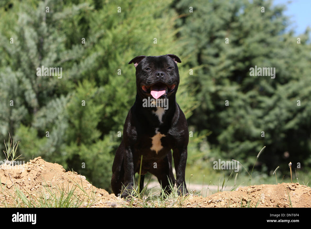 dog Staffordshire Bull Terrier / Staffie  adult standing - Stock Image