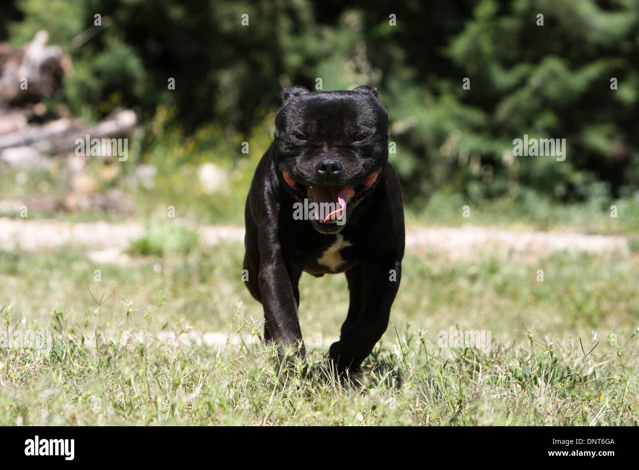 dog Staffordshire Bull Terrier / Staffie  /   adult (black) running in a garden - Stock Image