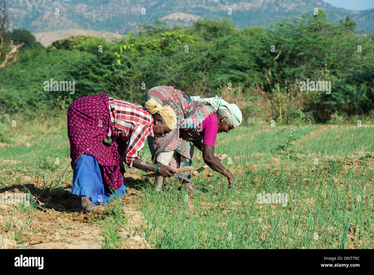 Elderly Indian women tilling the hard soil with hand tools in a field of cultivated onions. Andhra Pradesh, India - Stock Image