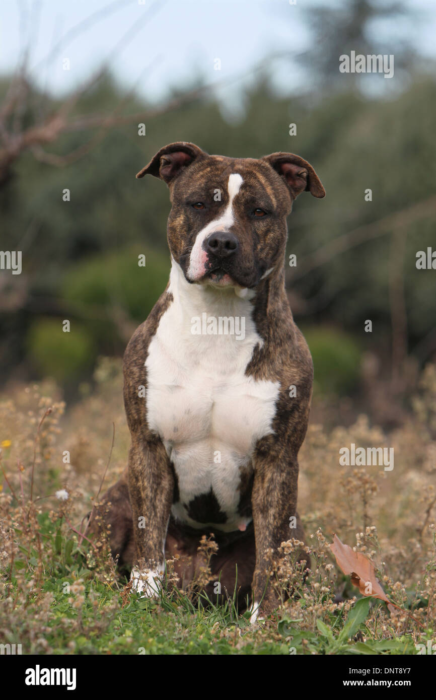 Dog American Staffordshire Terrier / Amstaff  / adult sitting in a meadow - Stock Image