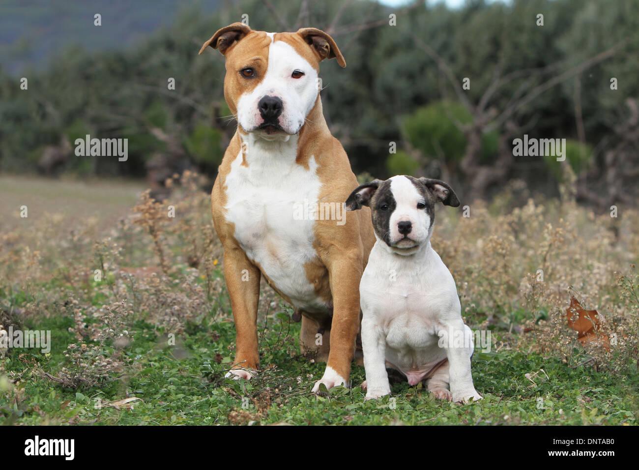 Ast Dog Breed
