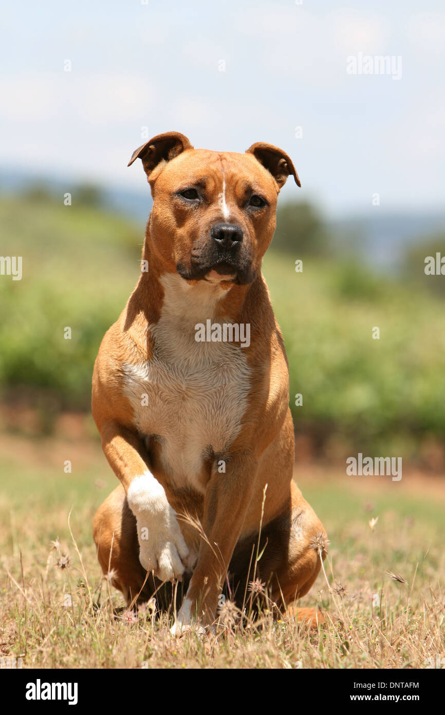 Dog American Staffordshire Terrier / Amstaff  /  adult sitting in a field - Stock Image