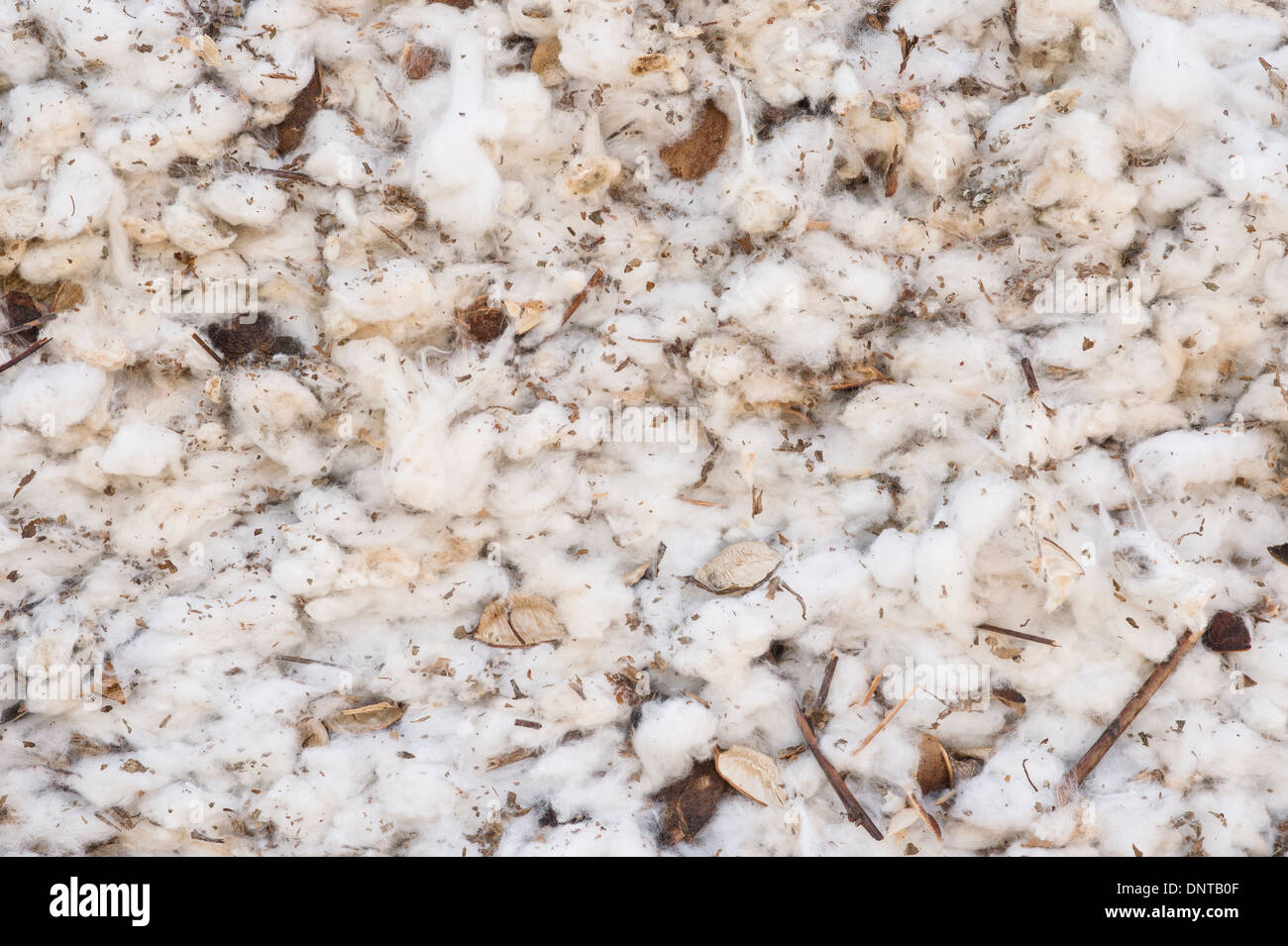 Cotton fields in Texas - Stock Image