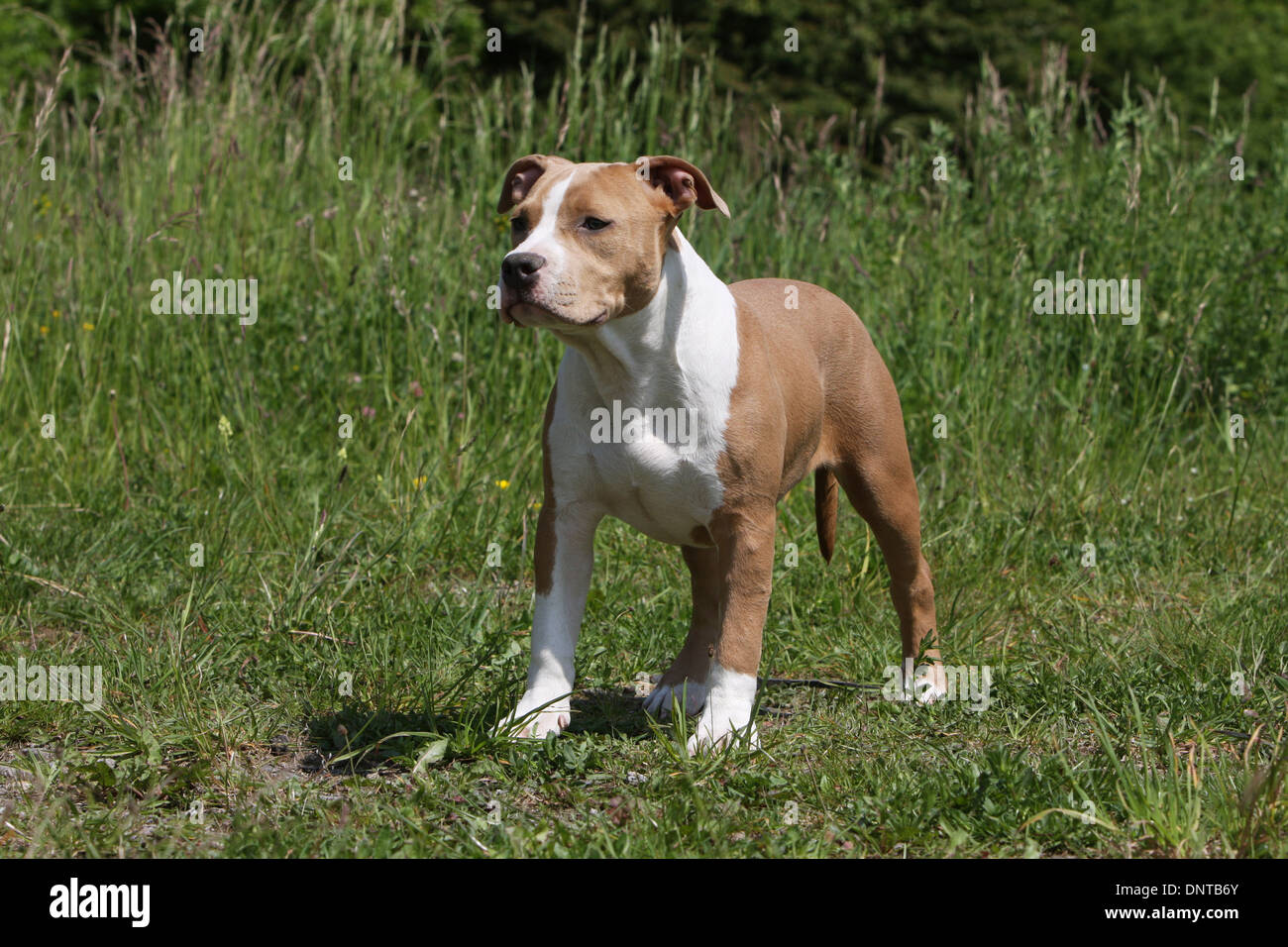 Dog American Staffordshire Terrier / Amstaff  / young standing in a meadow - Stock Image