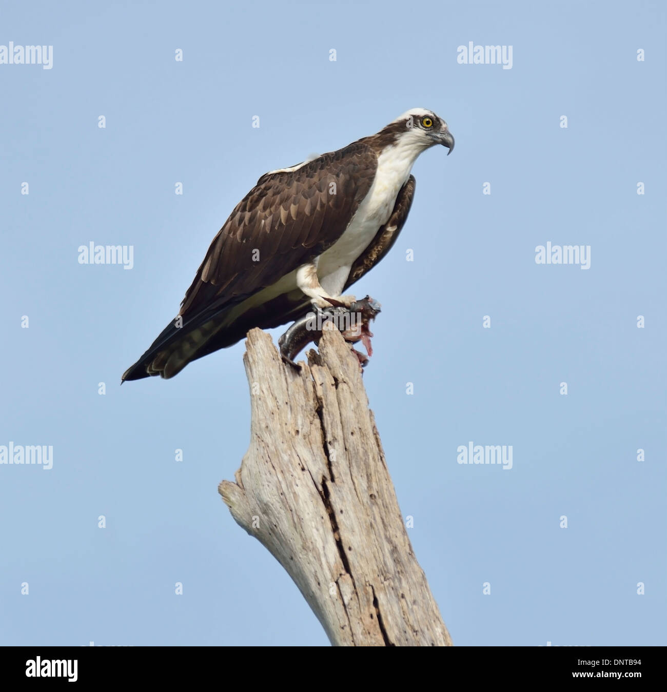 Osprey Eating Fish On A Dried Log - Stock Image