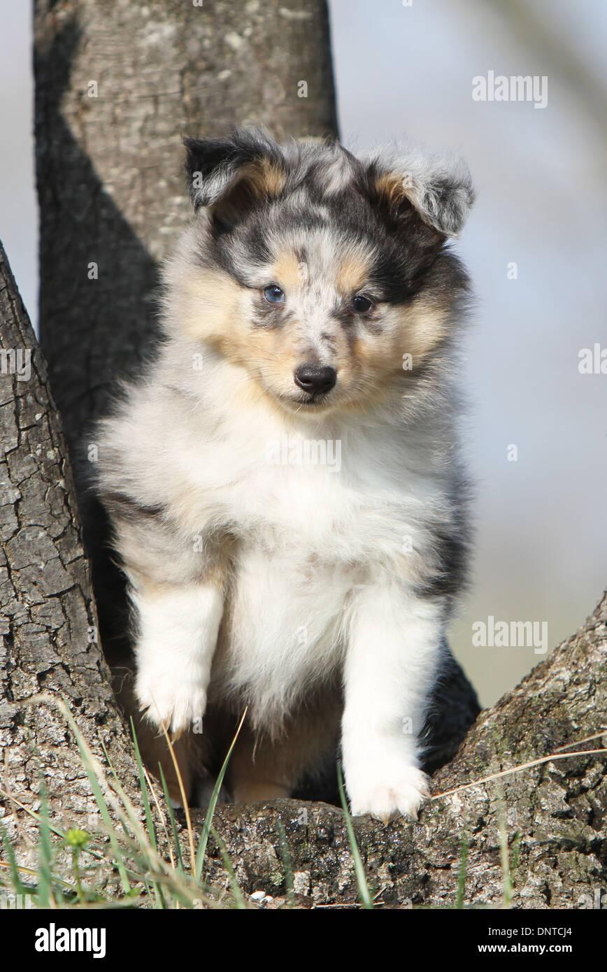 Dog Shetland Sheepdog Sheltie Puppy Blue Merle Sitting In A