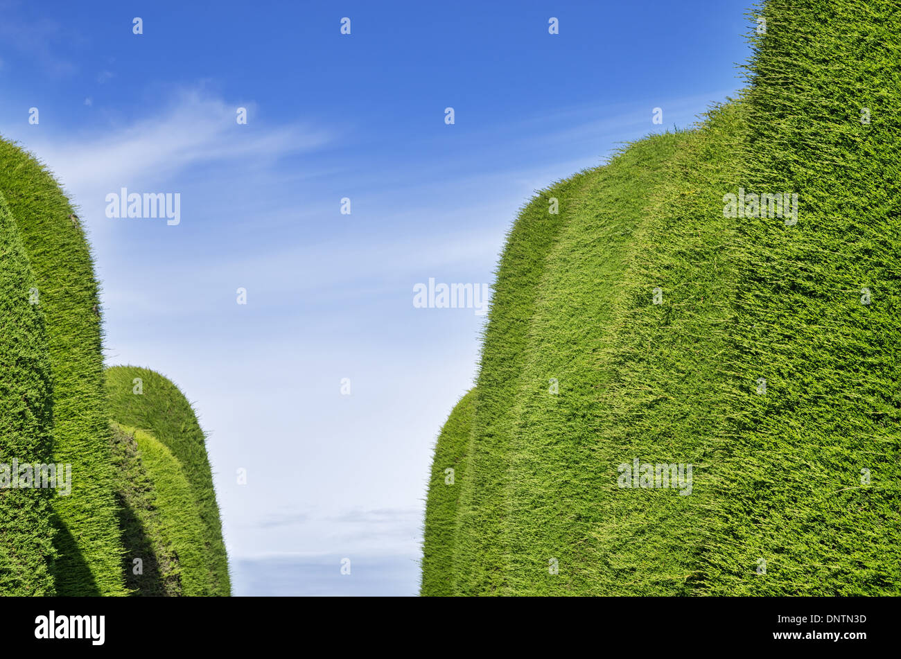 green juniper hedge aisle with sky background - Stock Image