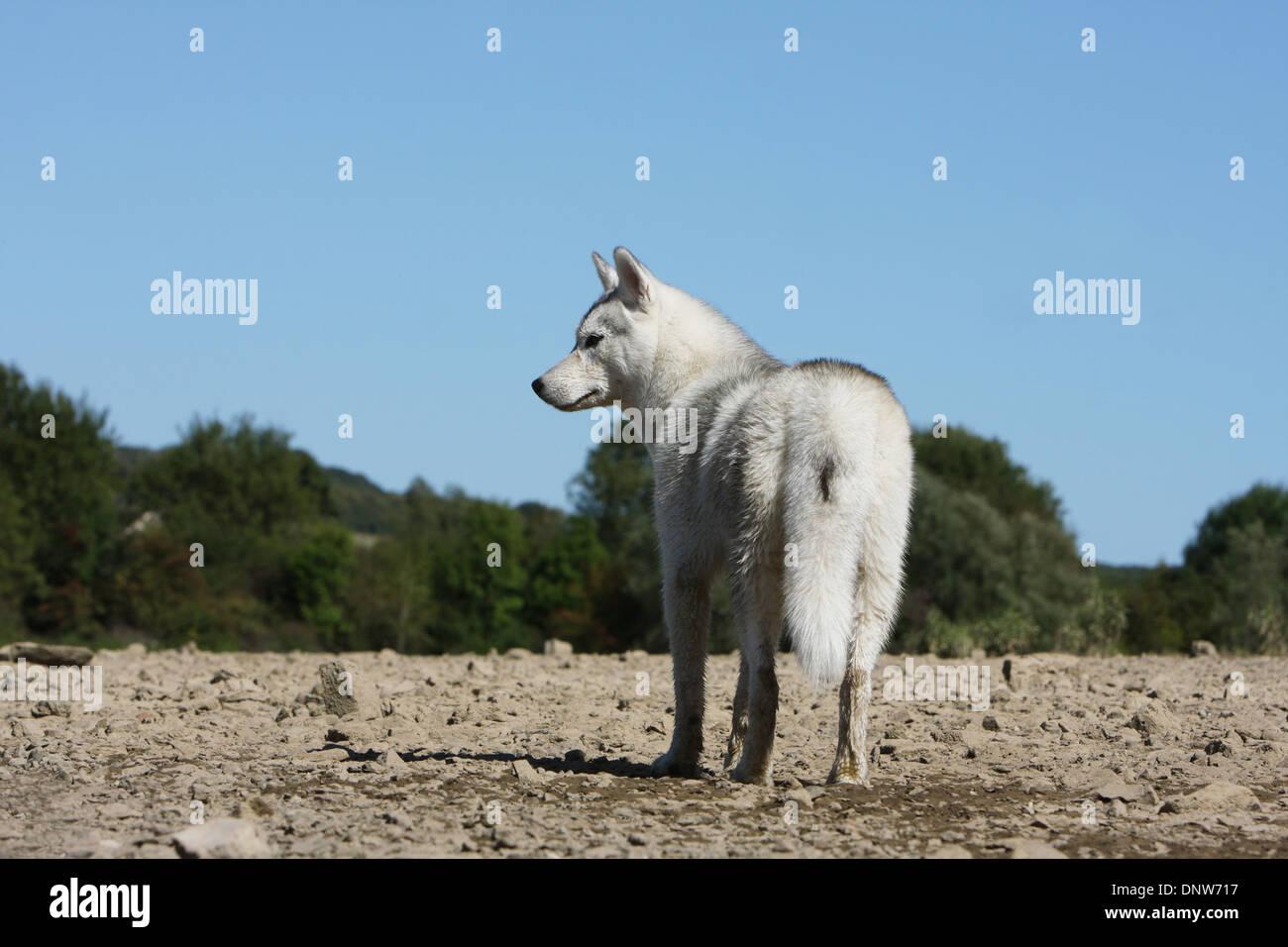 Dog Breed Husky Similar
