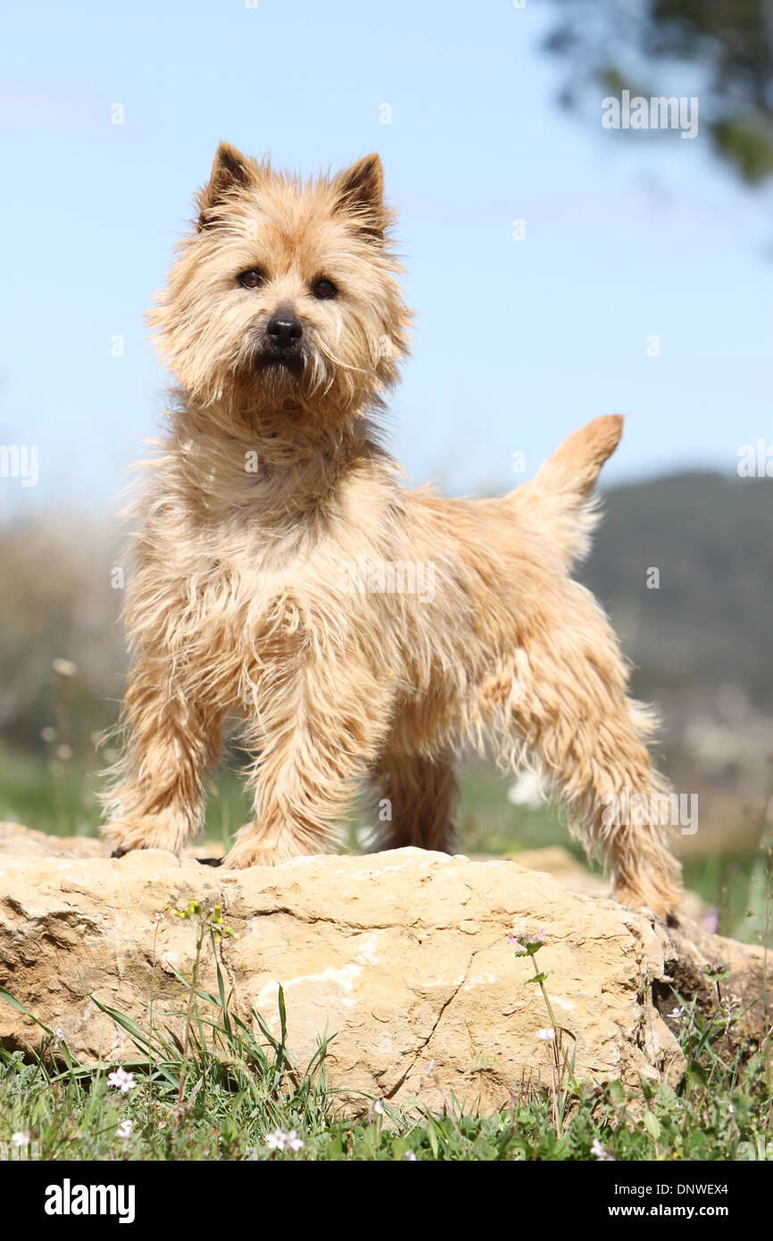 Dog Cairn Terrier Adult Wheaten Stock Photos & Dog Cairn