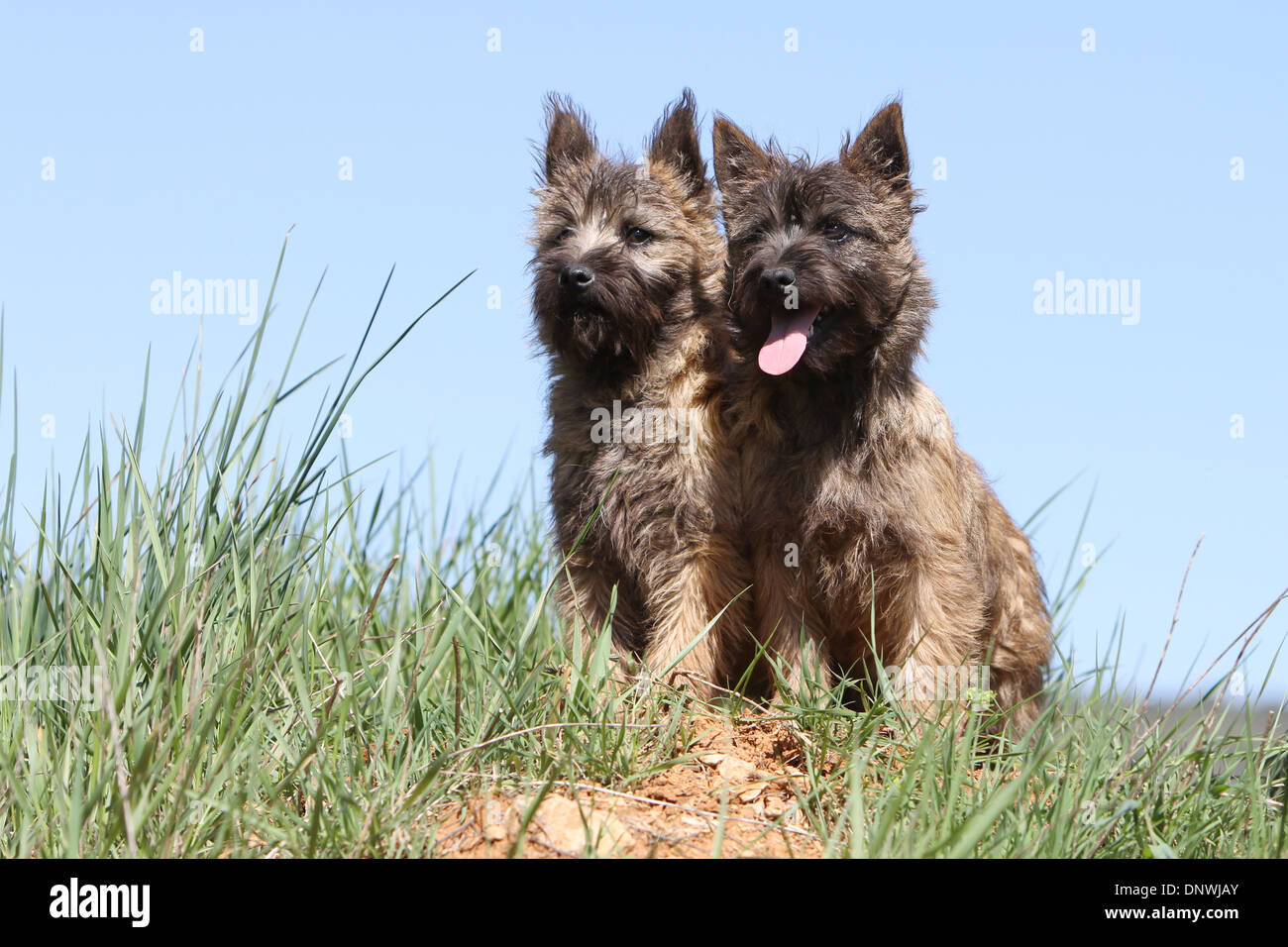 Two Cairn Terrier Puppies Sitting Stock Photos & Two Cairn