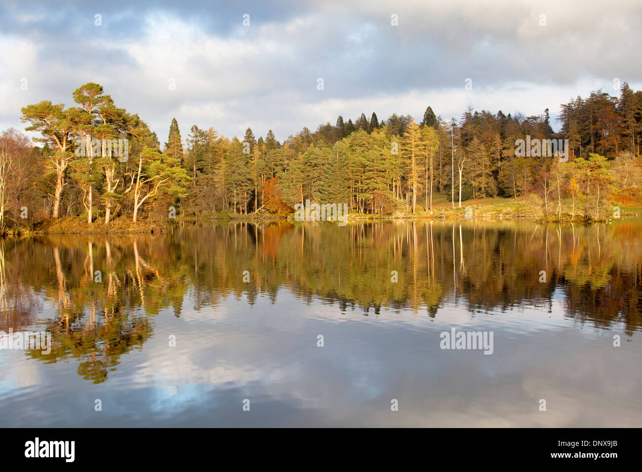 View of trees showing autumn colour reflected in water in evening light at Tarn Howes, Coniston, Lake District, Cumbria, England - Stock Image