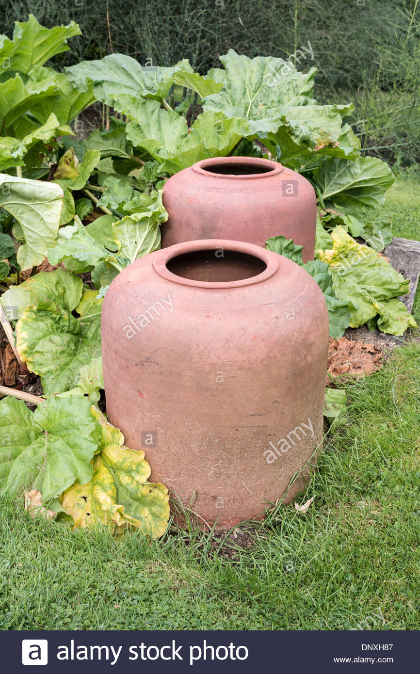 Ou Planter Une Rhubarbe rhubarb plant and rhubarb forcing pots stock photo: 65123191