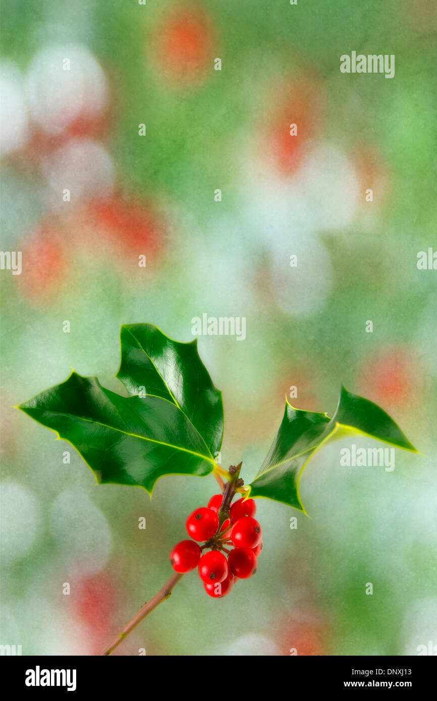 Holly Sprig. - Stock Image
