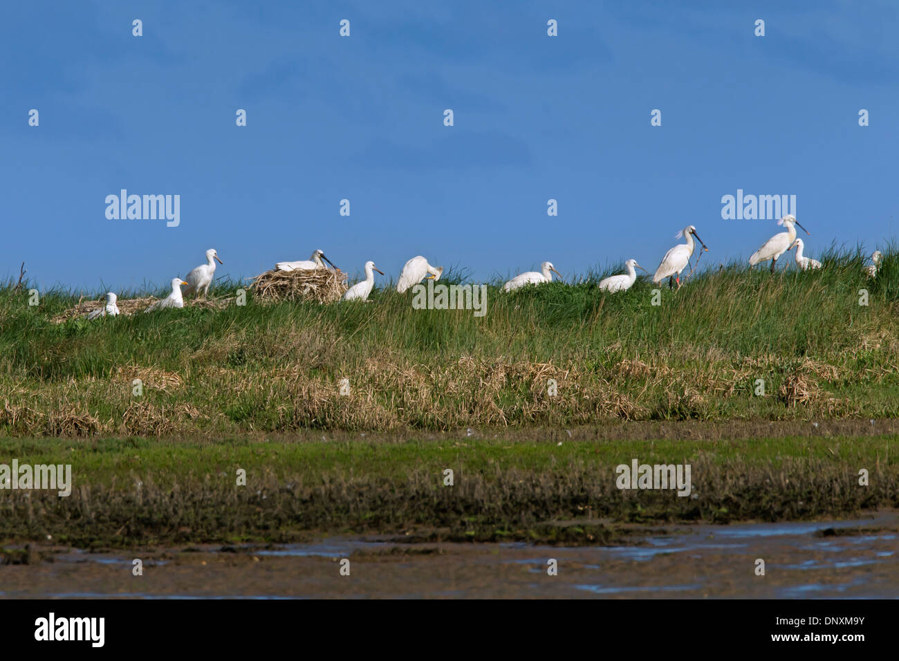 Eurasian Spoonbill / Common Spoonbills (Platalea leucorodia) colony, showing nesting birds and juveniles, Wadden Sea, Germany - Stock Image