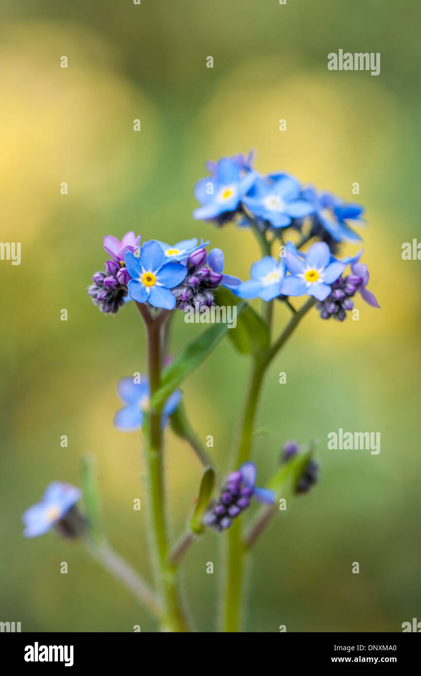 Close-up image of the delicate, tiny blue flowers of the Forget-me-not also known as Myosotis. Stock Photo