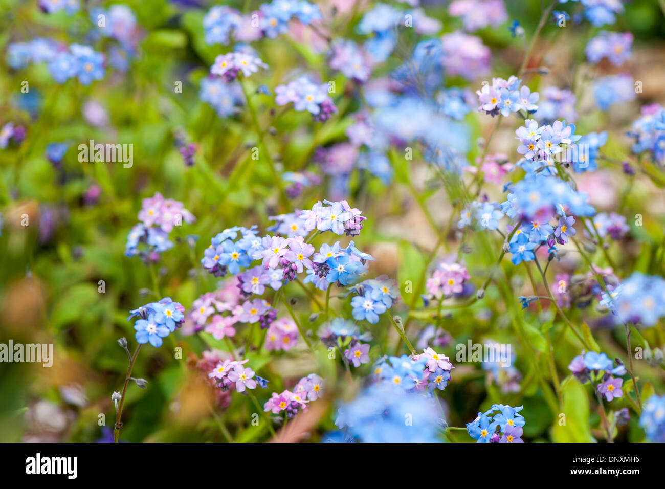 Close up image of the delicate blue pink forget me not flowers close up image of the delicate blue pink forget me not flowers myosotis mightylinksfo