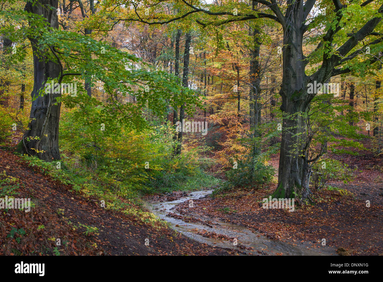 The stream Wayai in autumn forest near Spa in the Belgian Ardennes, Belgium - Stock Image