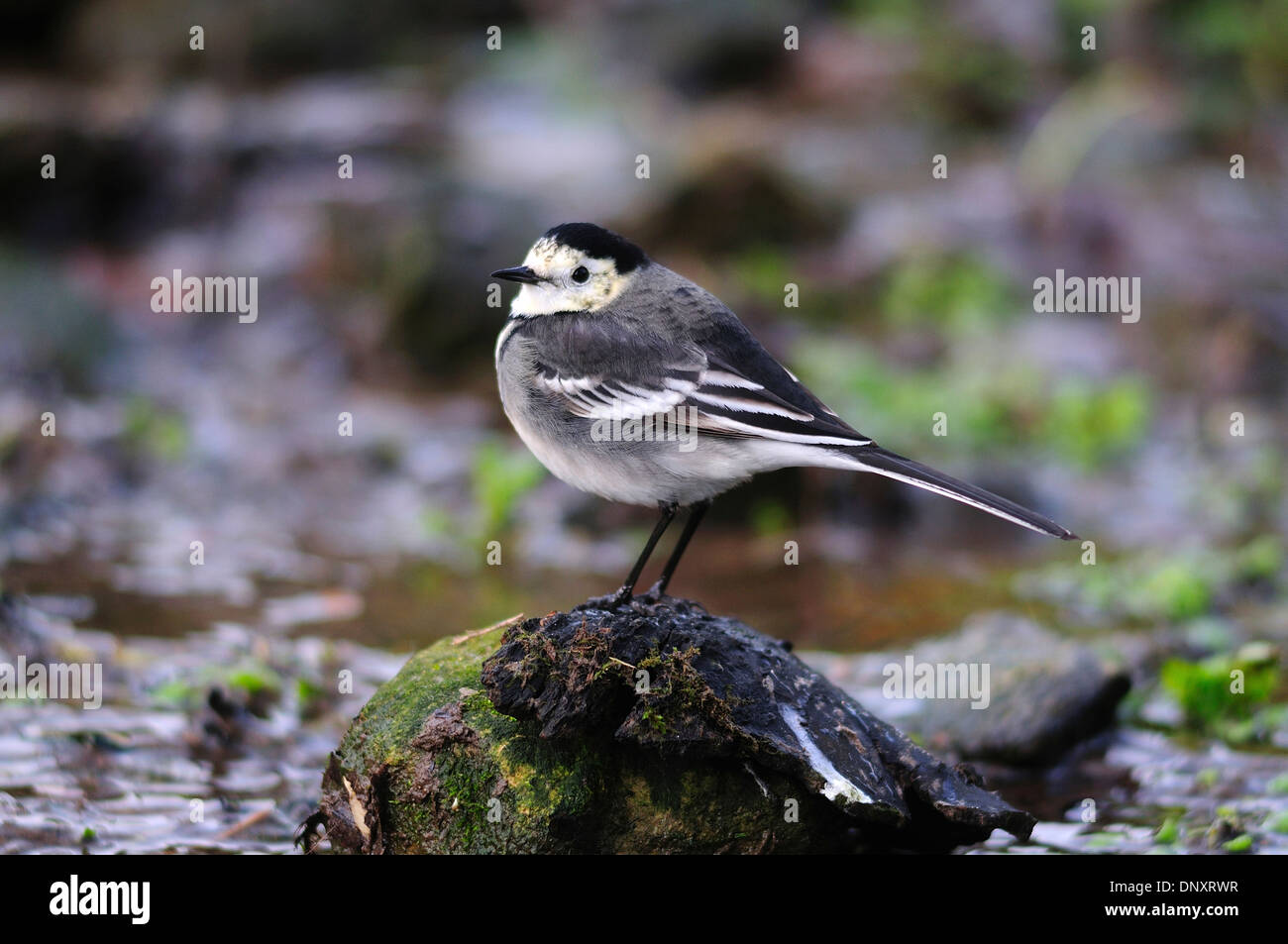 A pied wagtail perched on a stone by a stream UK Stock Photo