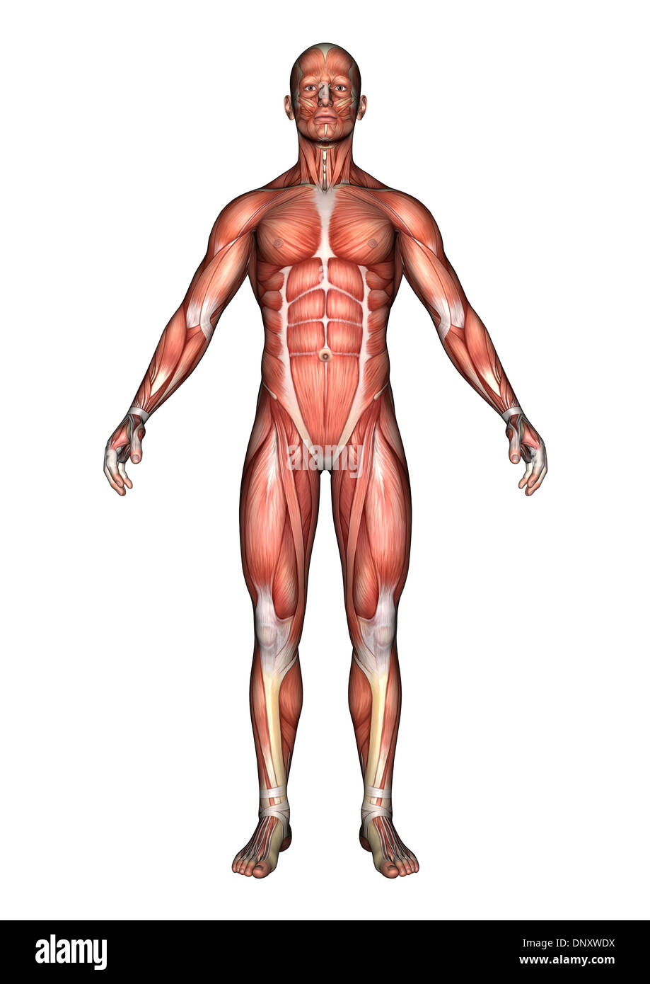 3D digital render of a male anatomy figure with muscles map isolated ...