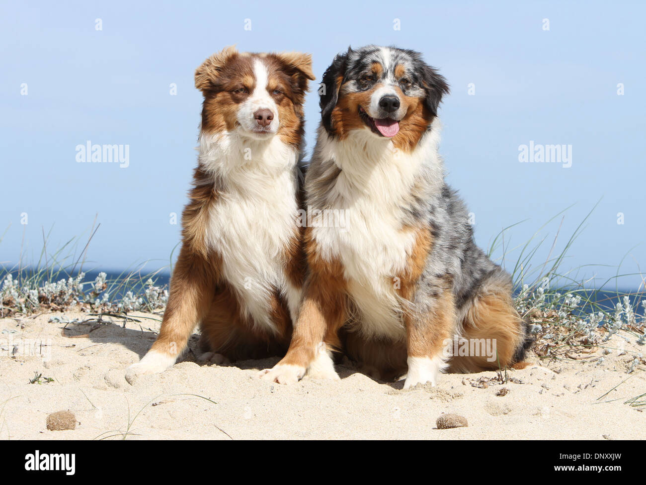 Dog Australian Shepherd Aussie Two Adults Red Tricolor And Blue Stock Photo Alamy