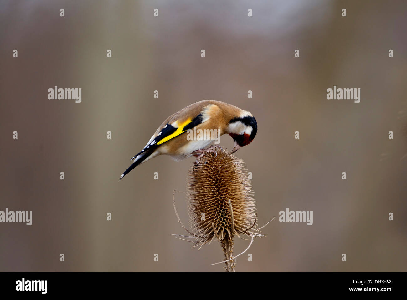 Goldfinch Carduelis Carduelis in profile eating seed from a teasel head - Stock Image