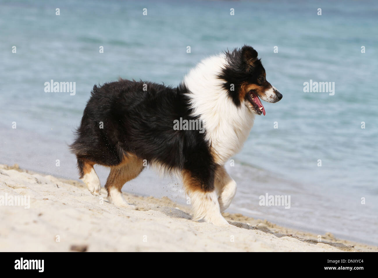 dog australian shepherd aussie adult black tricolor walking on stock photo 65131140 alamy. Black Bedroom Furniture Sets. Home Design Ideas