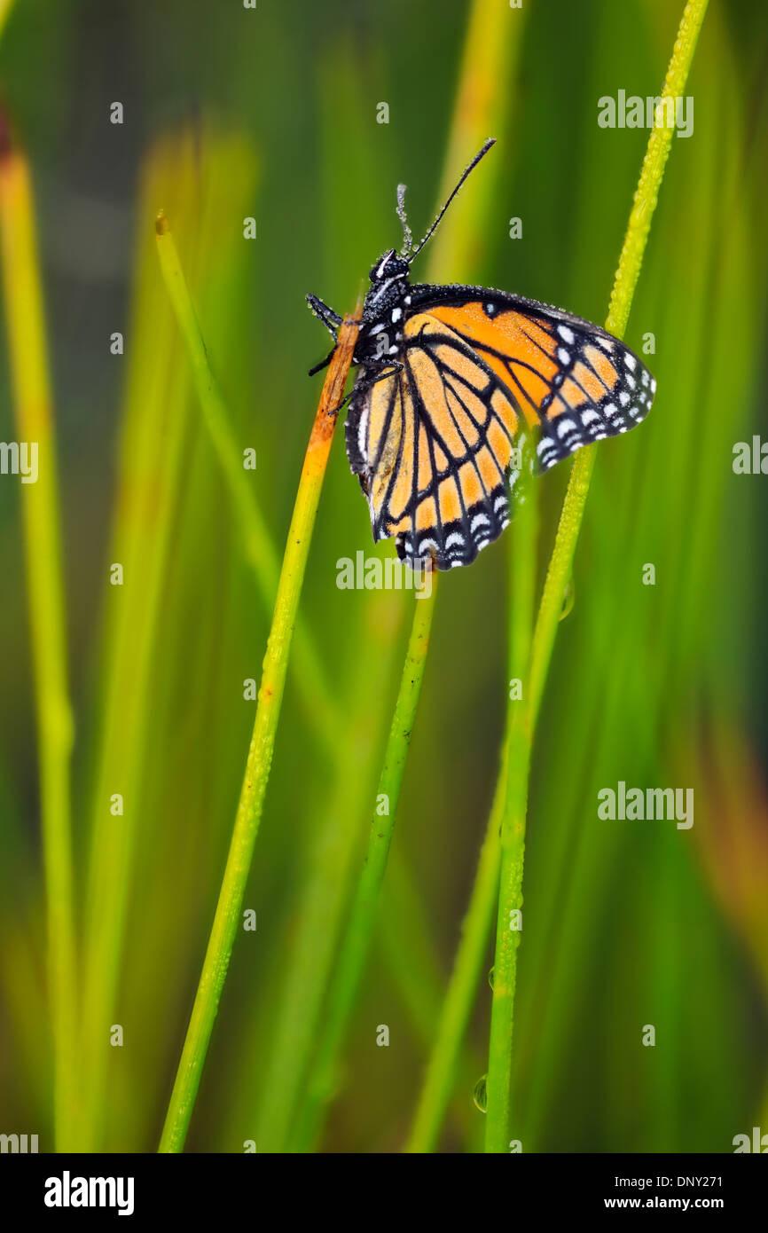 Viceroy (Limenitis archippus) Mullerian mimic Dewy specimen resting marsh grasses, Greater Sudbury , Ontario, Canada - Stock Image