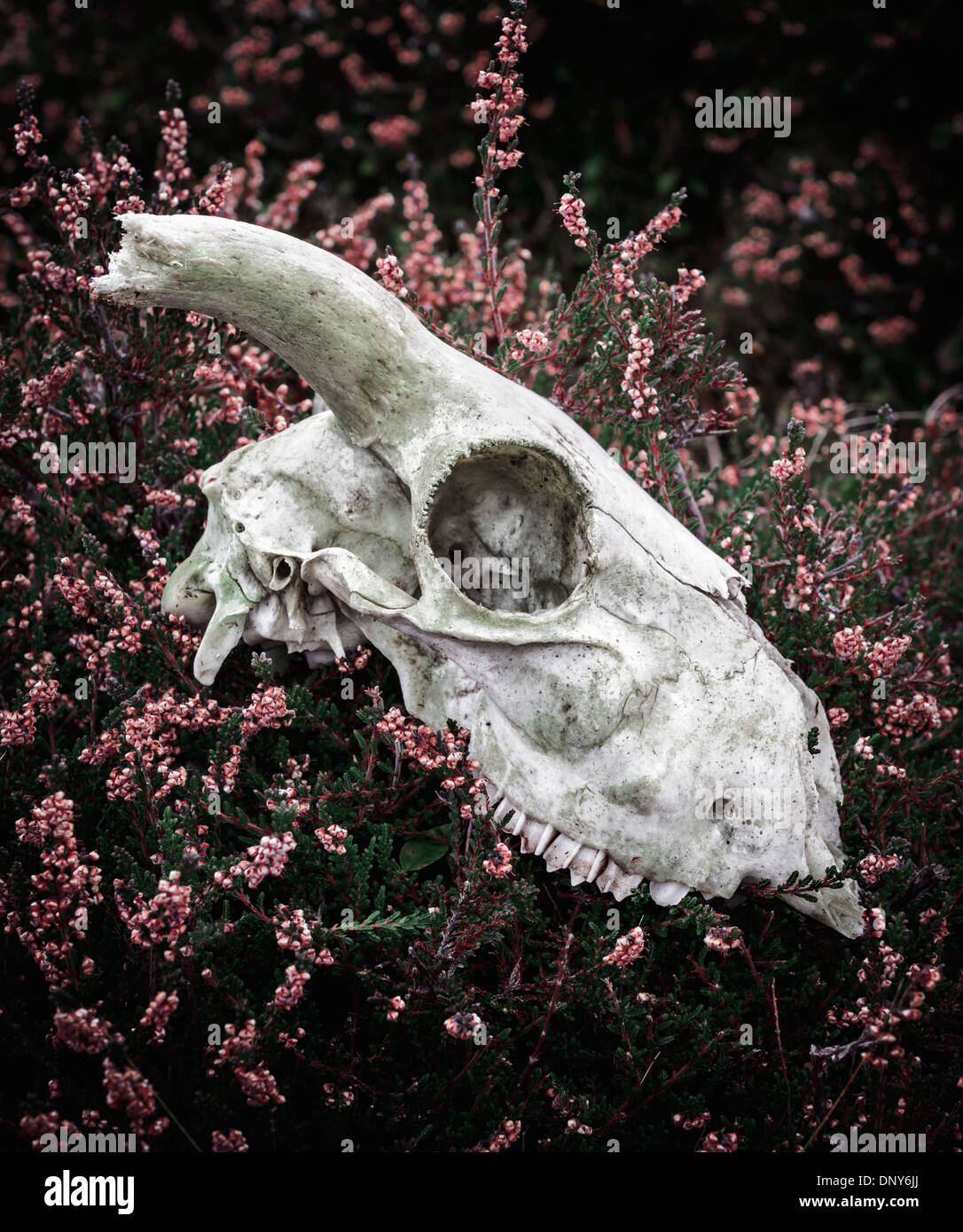 Sheep skull resting amongst heather - Stock Image