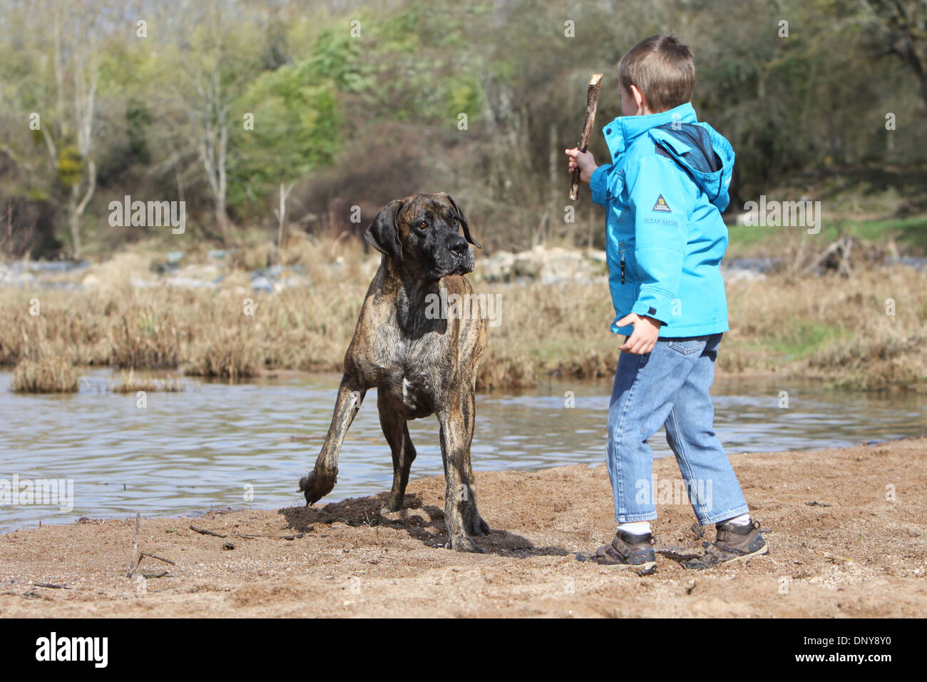 Dog Great Dane / Deutsche Dogge adult and a boy - Stock Image
