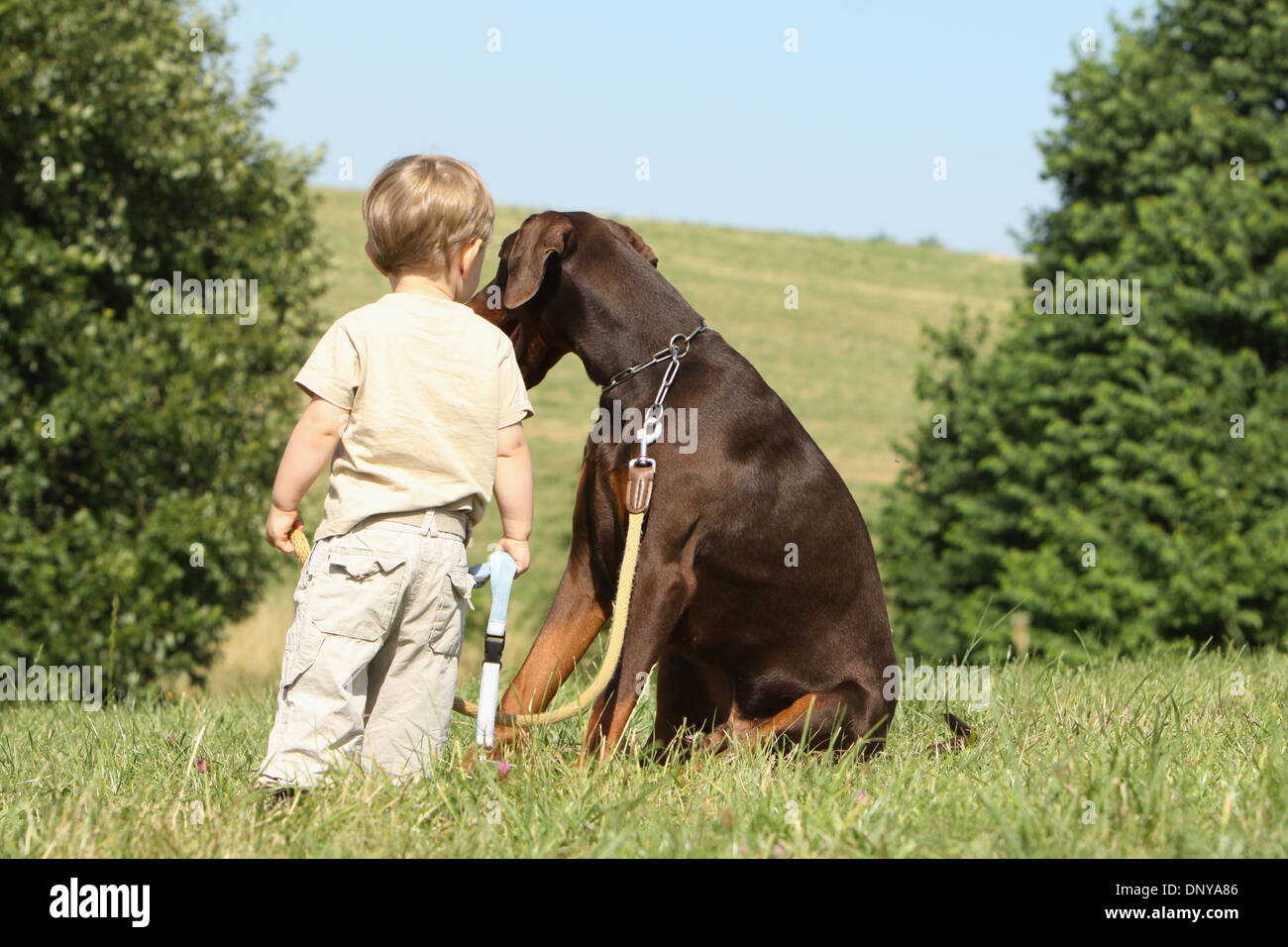 Dog Dobermann / Doberman Pinscher adult brown and tan with a baby - Stock Image