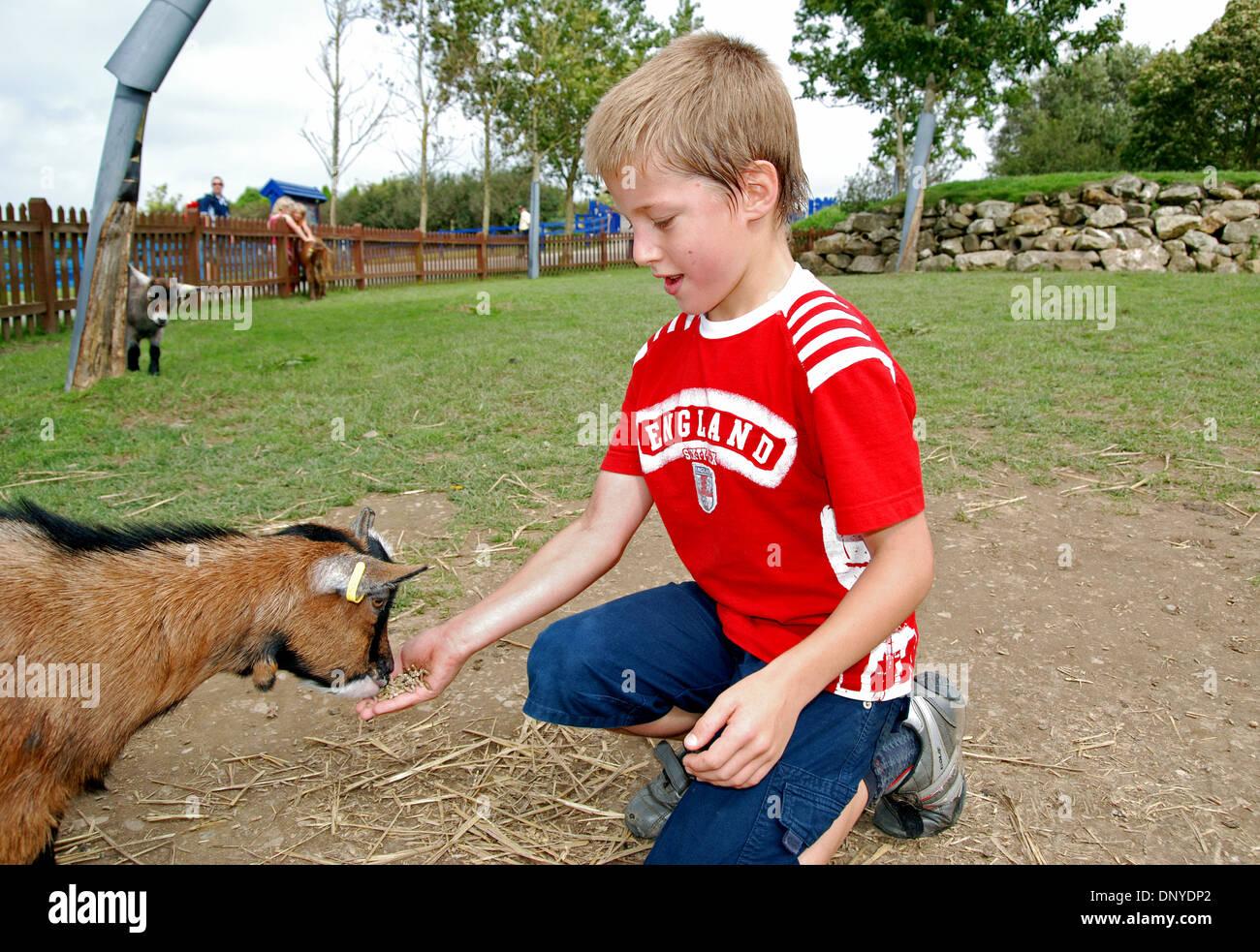 a small boy feeding a pygmy goat - Stock Image