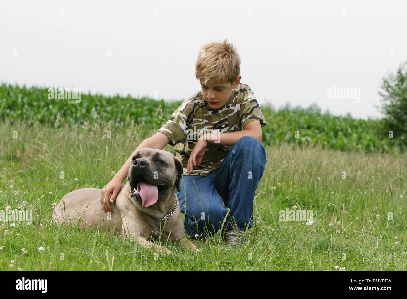 Dog Cane Corso / Italian Mastiff  adult and a boy - Stock Image