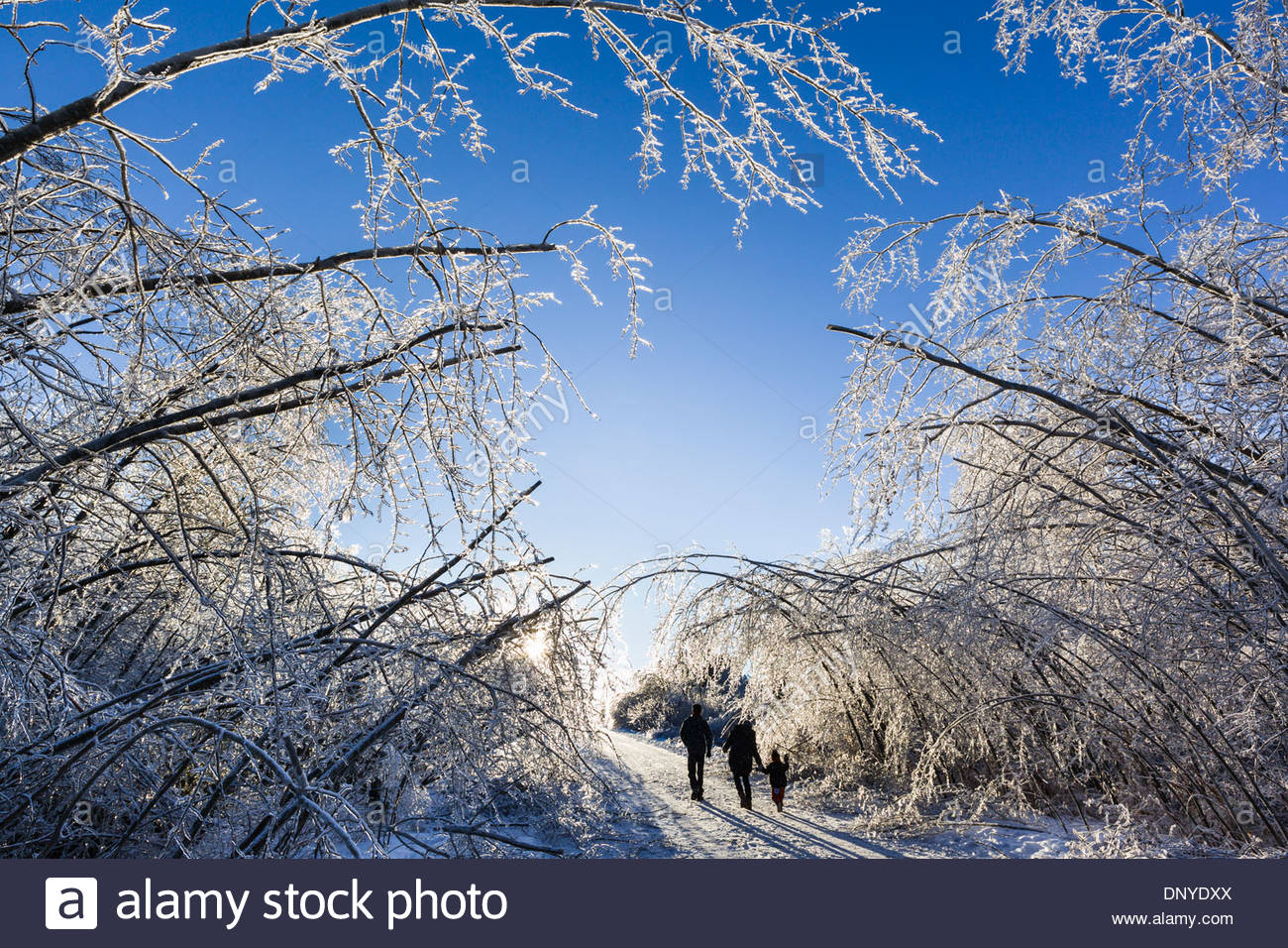 After a freezing rain tree branches made heavy by coating of ice bend over in Rouge National Urban Park in Toronto Canada - Stock Image