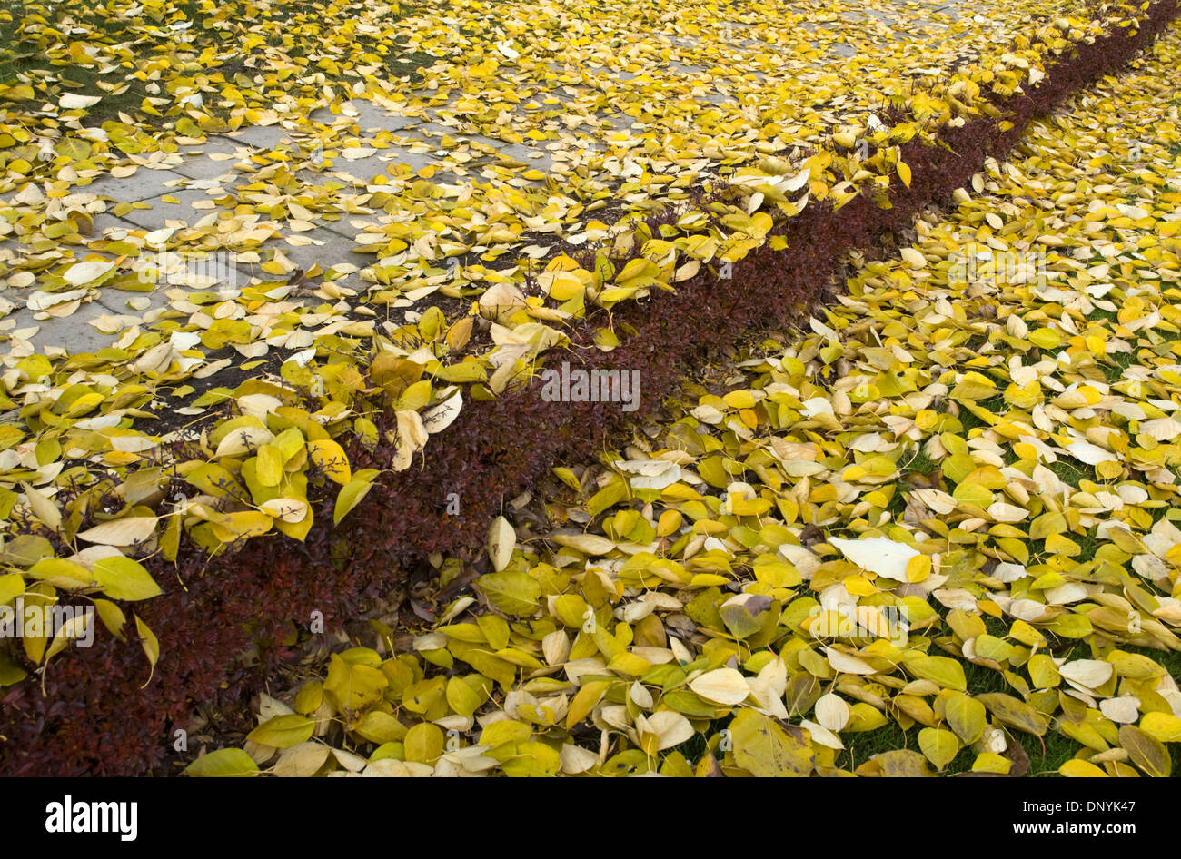 Fallen birch leaves at Auschwitz, Poland. - Stock Image