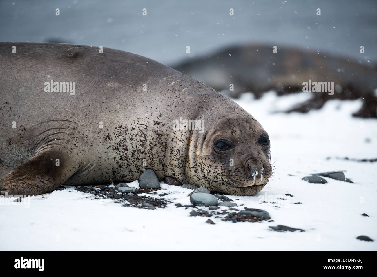 ANTARCTICA - A Southern Elephant seal lies in the snow on the beach on Livingston Island in the South Shetland Islands, Antarctica. - Stock Image
