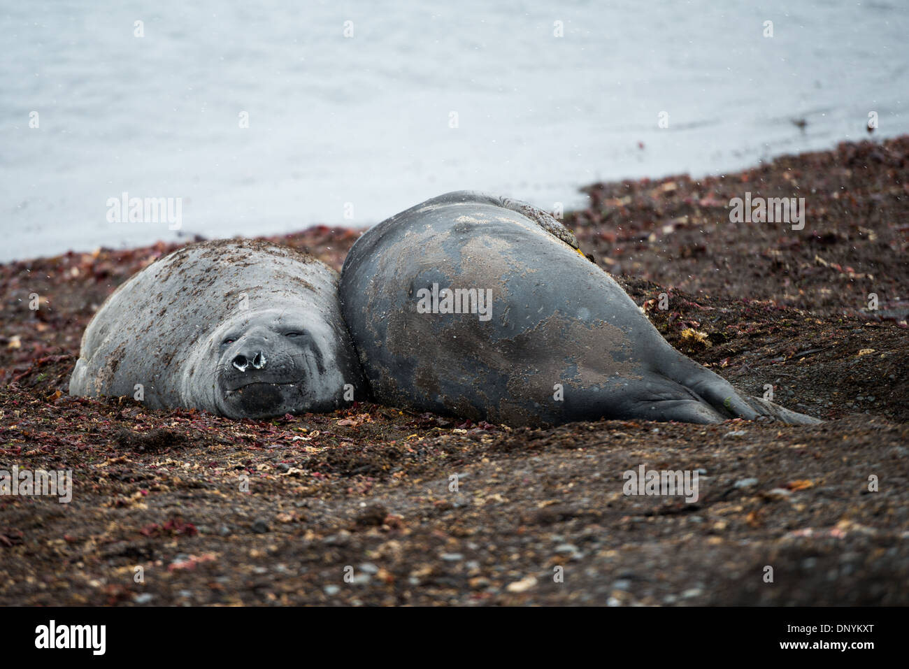 ANTARCTICA - A pair of Southern Elephant Seals lies on the beach of Livingston Island in the South Shetland Islands, Antarctica. - Stock Image