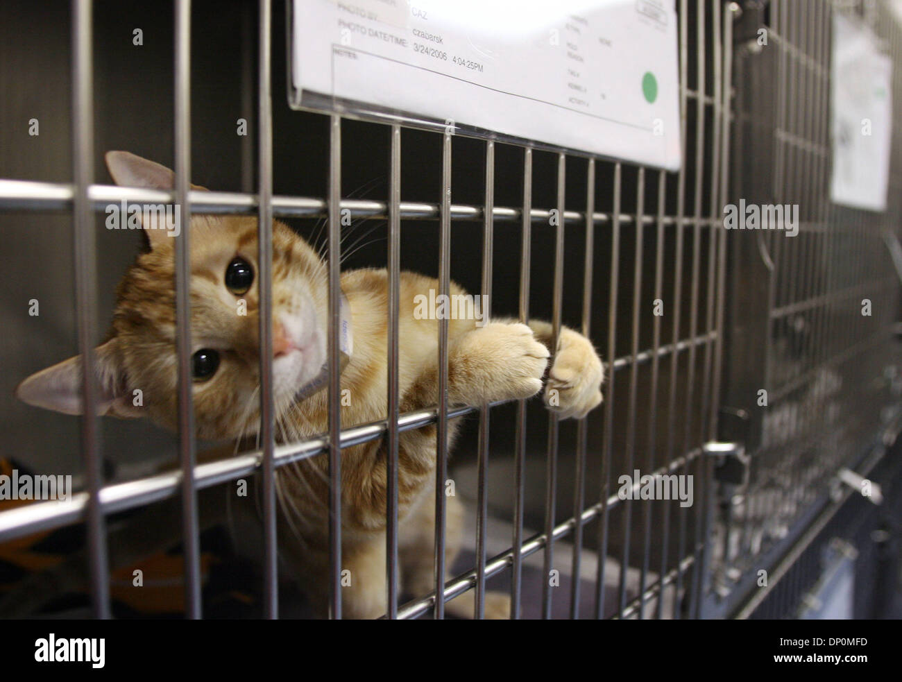 Mar 27, 2006; Palm Beach, FL, USA; A cat given up by his owner is held at the Palm Beach County animal shelter on - Stock Image