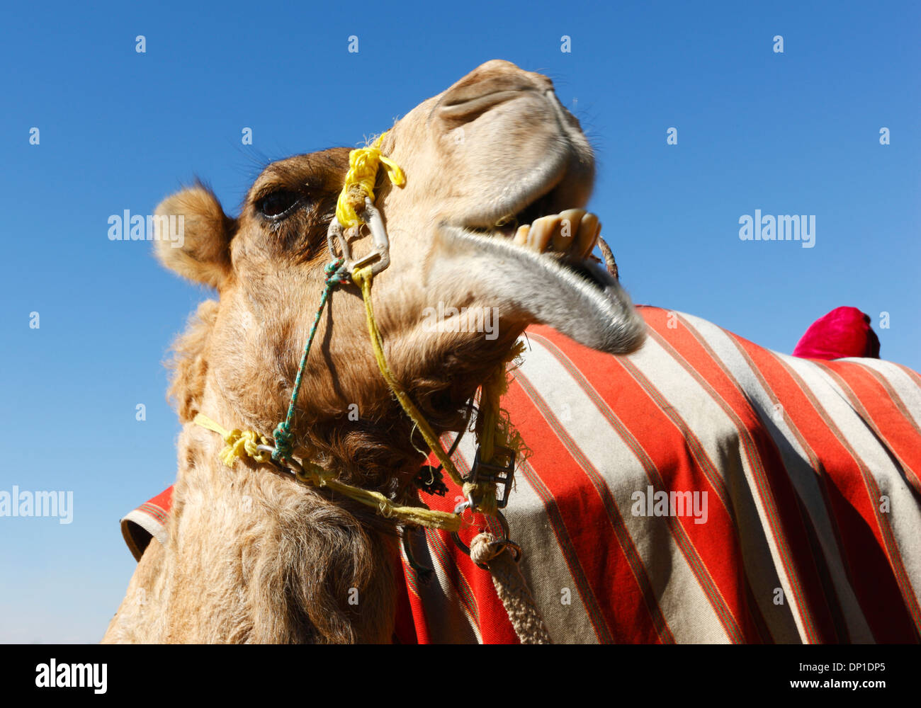 Camel head close up - Stock Image