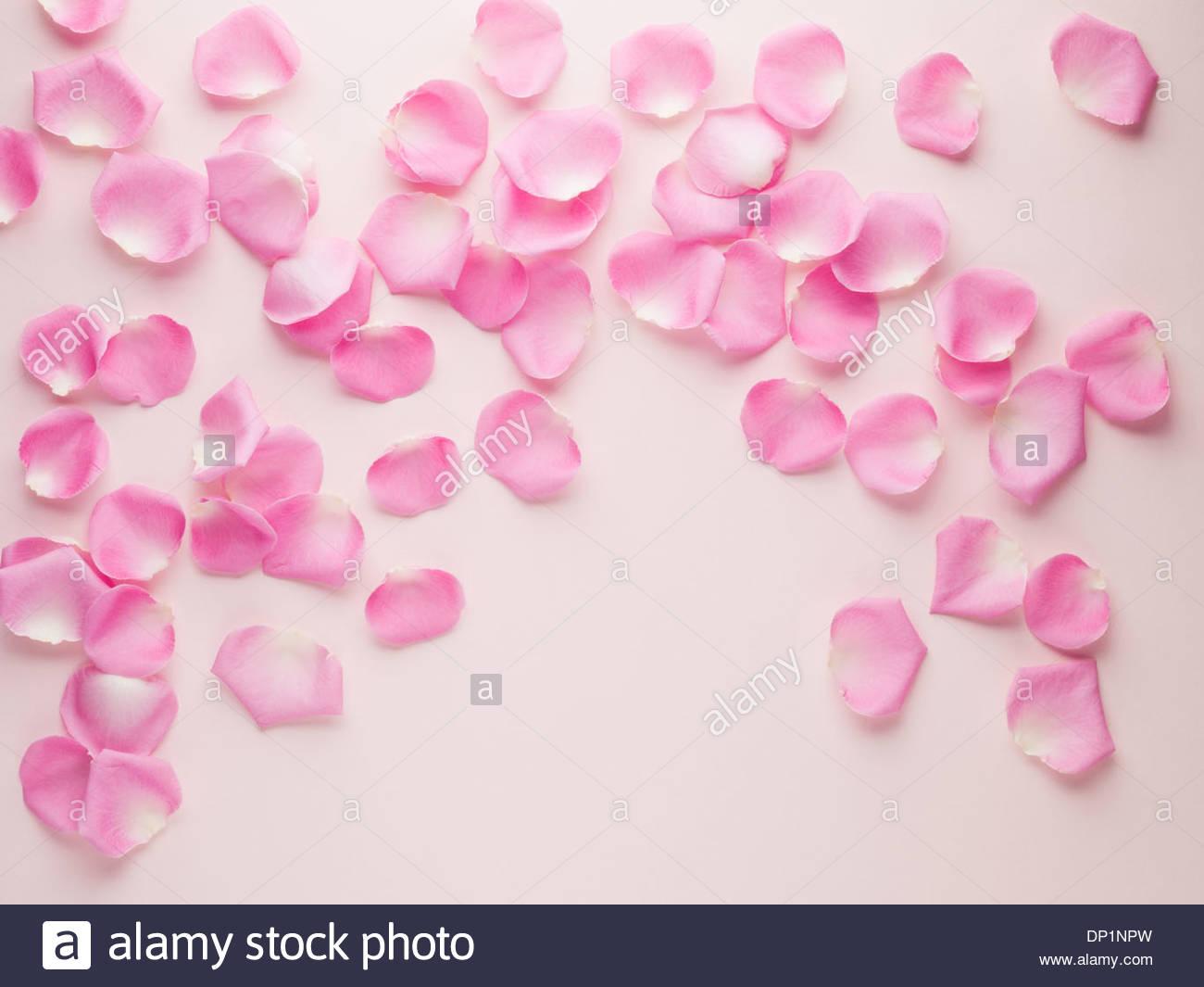 Pink rose petals - Stock Image
