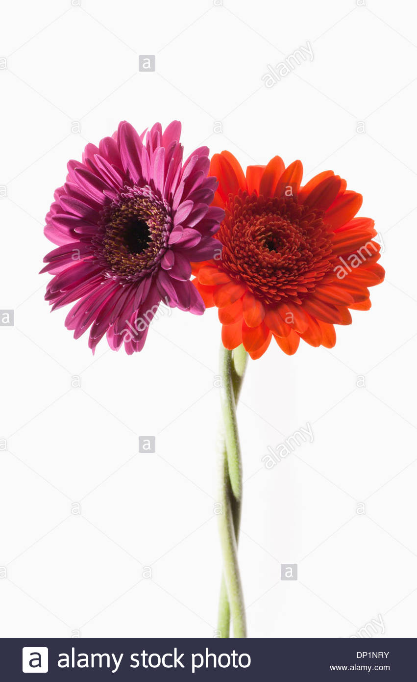 Two gerbera daisies intertwined - Stock Image