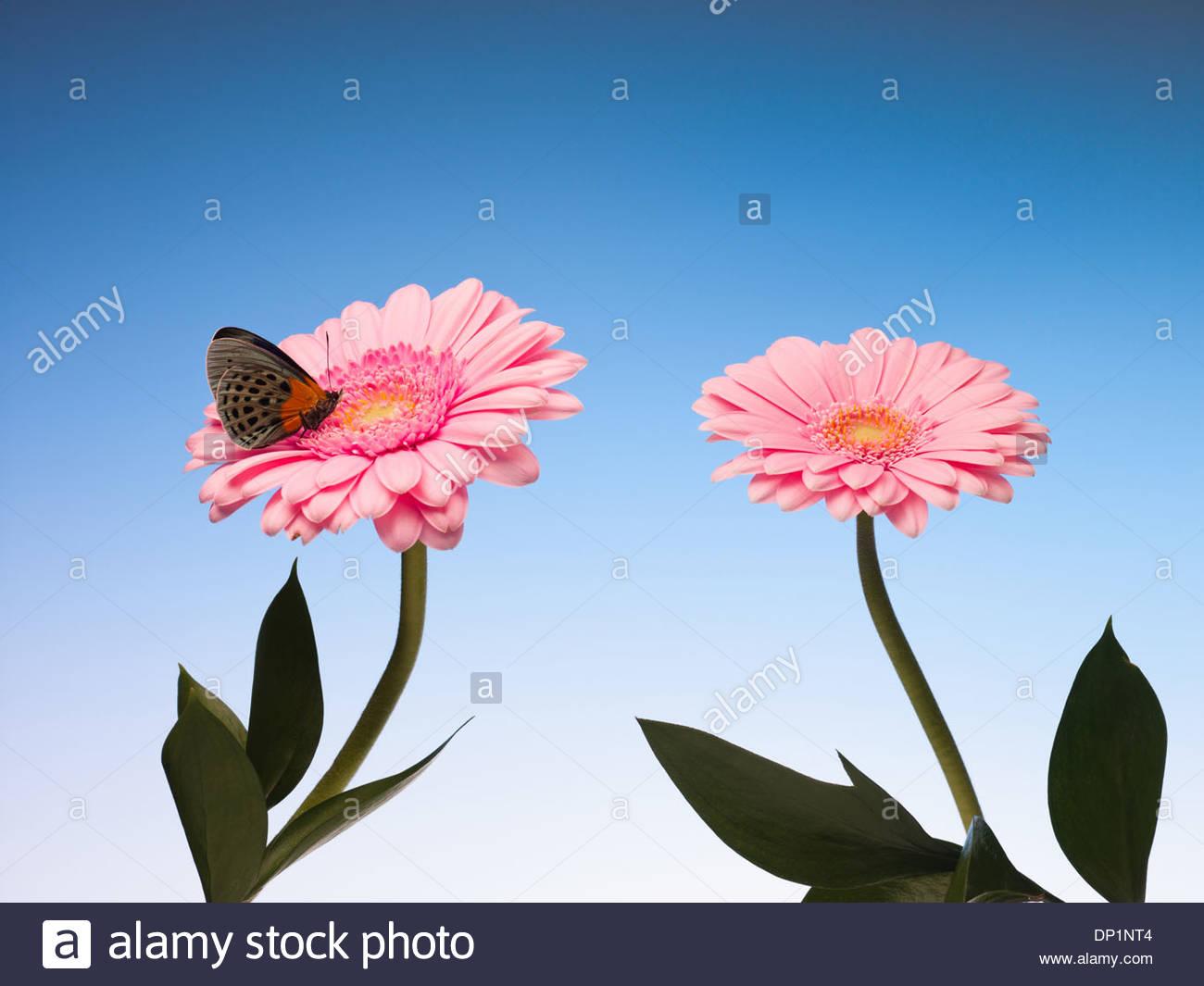 Two pink gerbera daisies - Stock Image