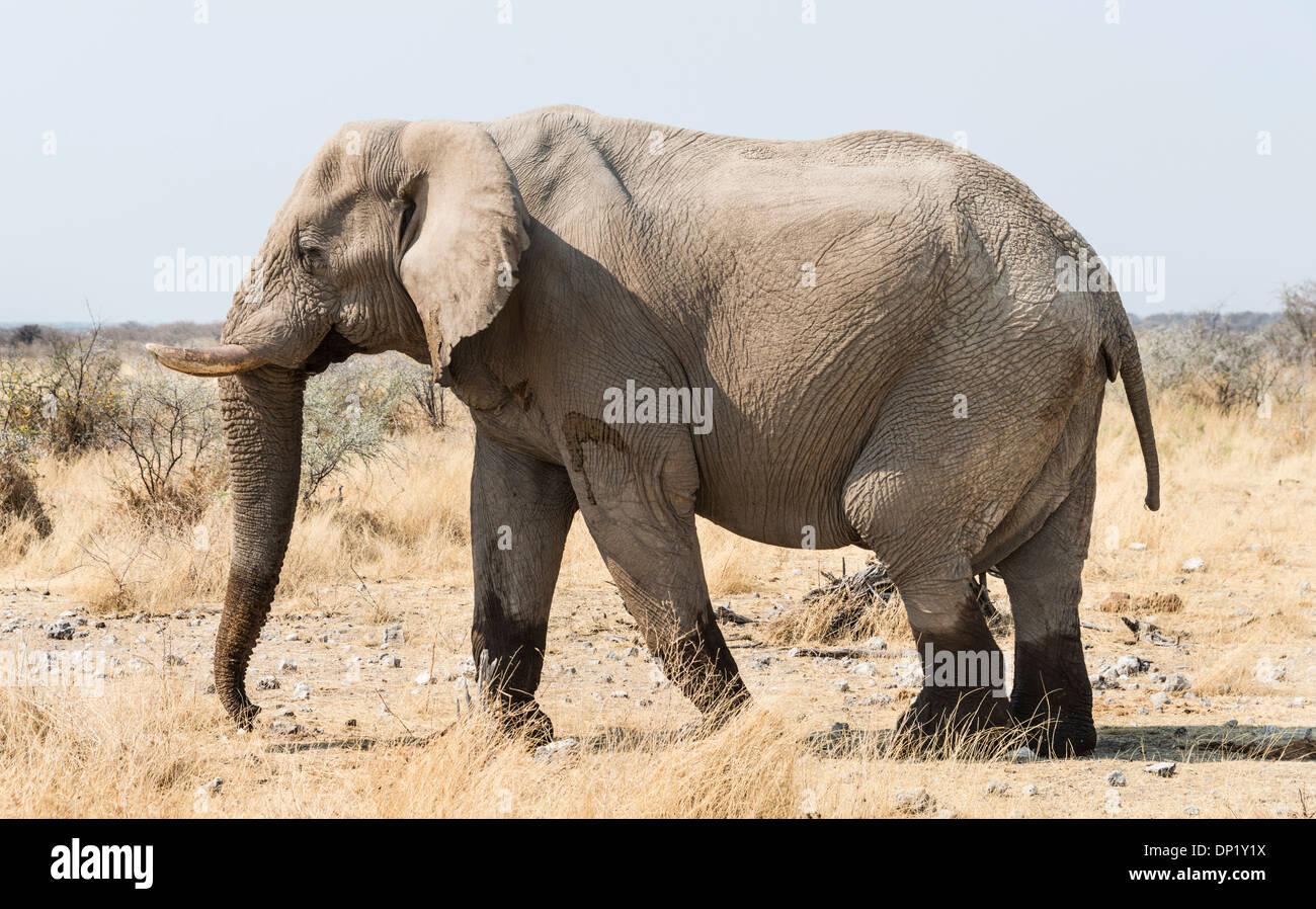 African Bush Elephant (Loxodonta africana) walking with wet feet on dry grassland, Etosha National Park, Namibia Stock Photo