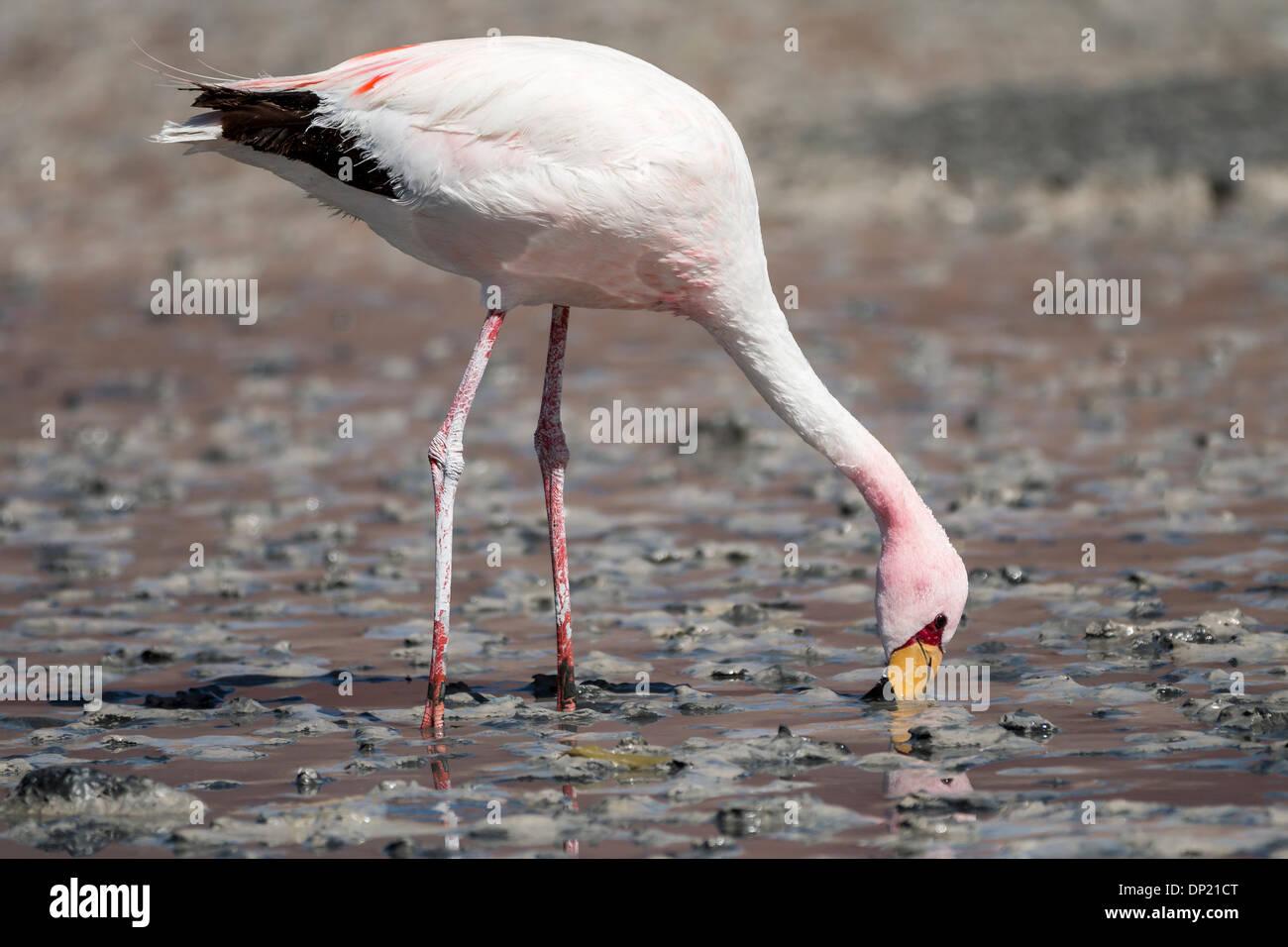 Andean Flamingo (Phoenicoparrus andinus), Potosí Department, Bolivia - Stock Image