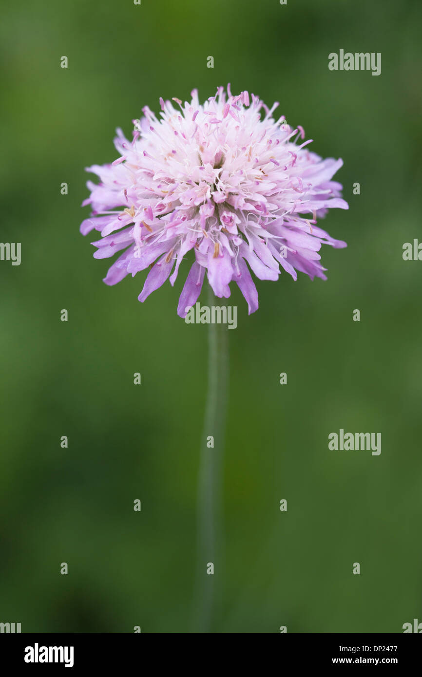 Field Scabious Flower with shallow depth of field. - Stock Image