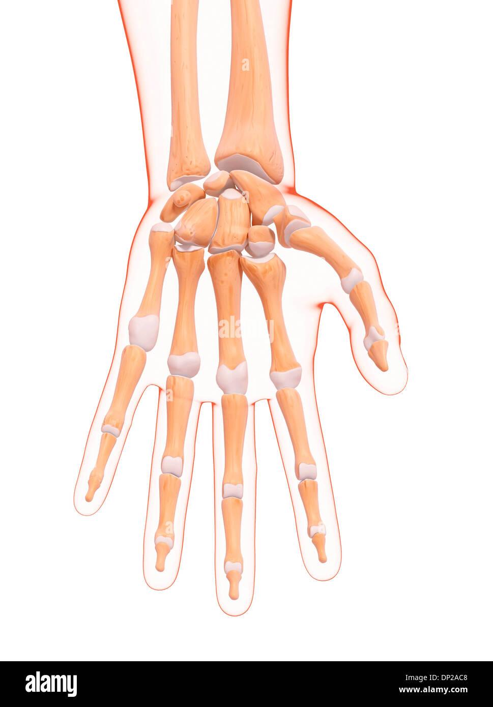 Human Hand Bones Artwork Stock Photo 65205624 Alamy