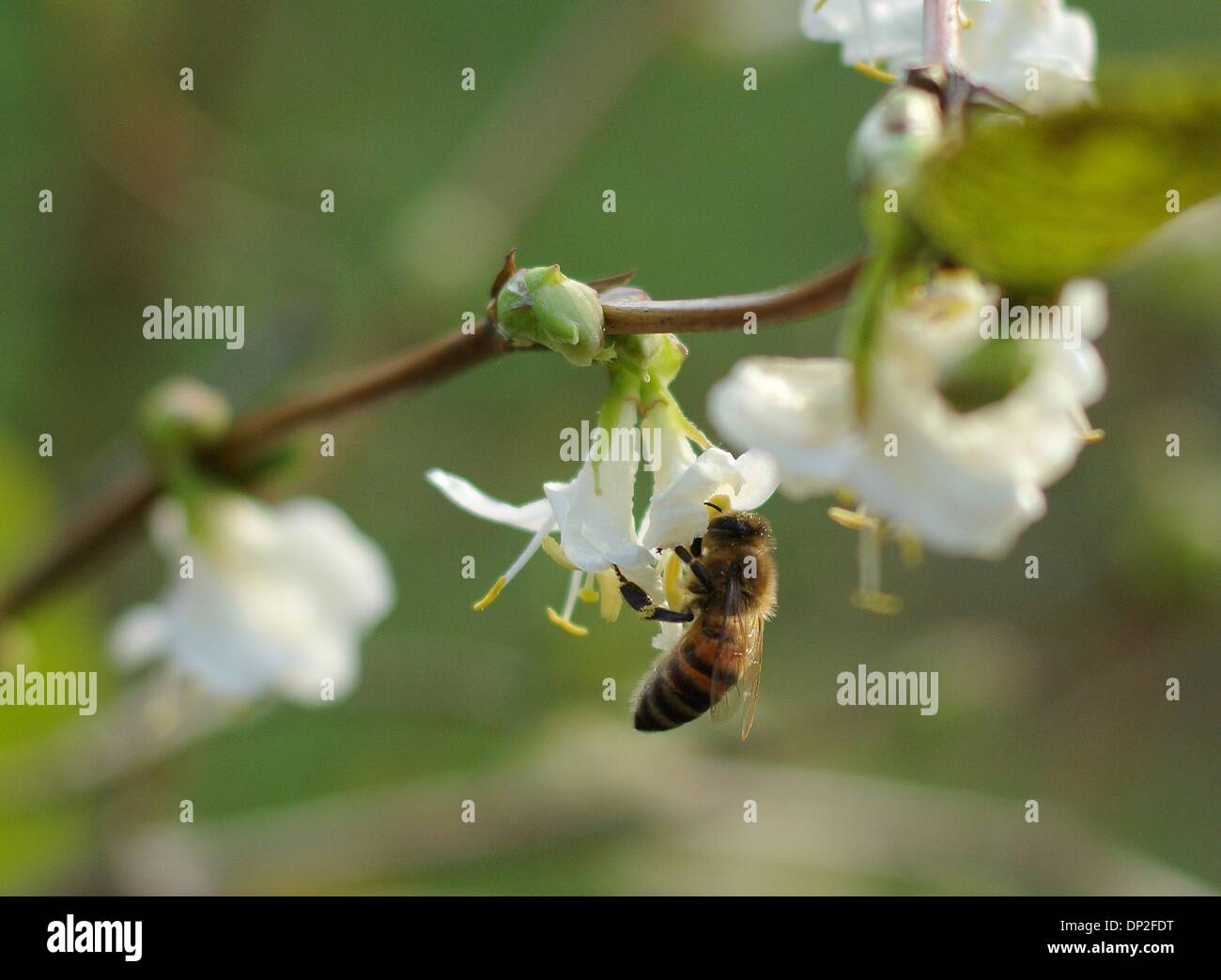 A bee sits in a blossom in Cologne, Germany, 07 January 2014. The unusually warm weather drives the bees out of their hives. Photo: Henning Kaiser/dpa - Stock Image