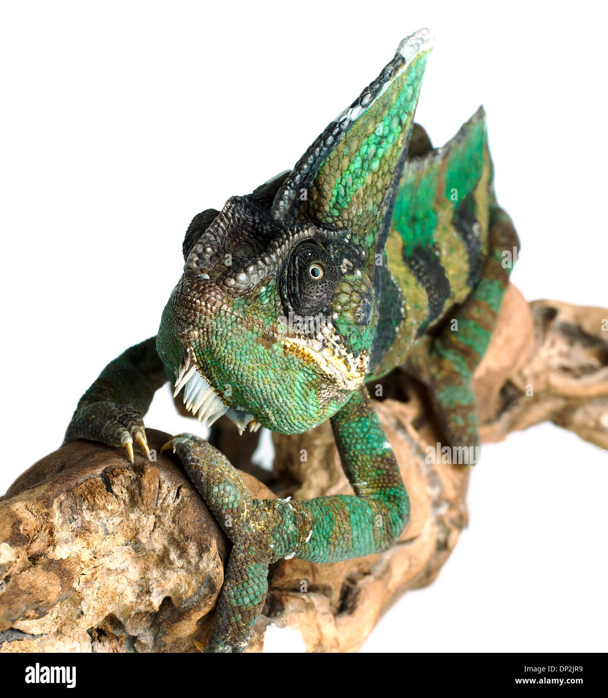 Veiled chameleon - Stock Image