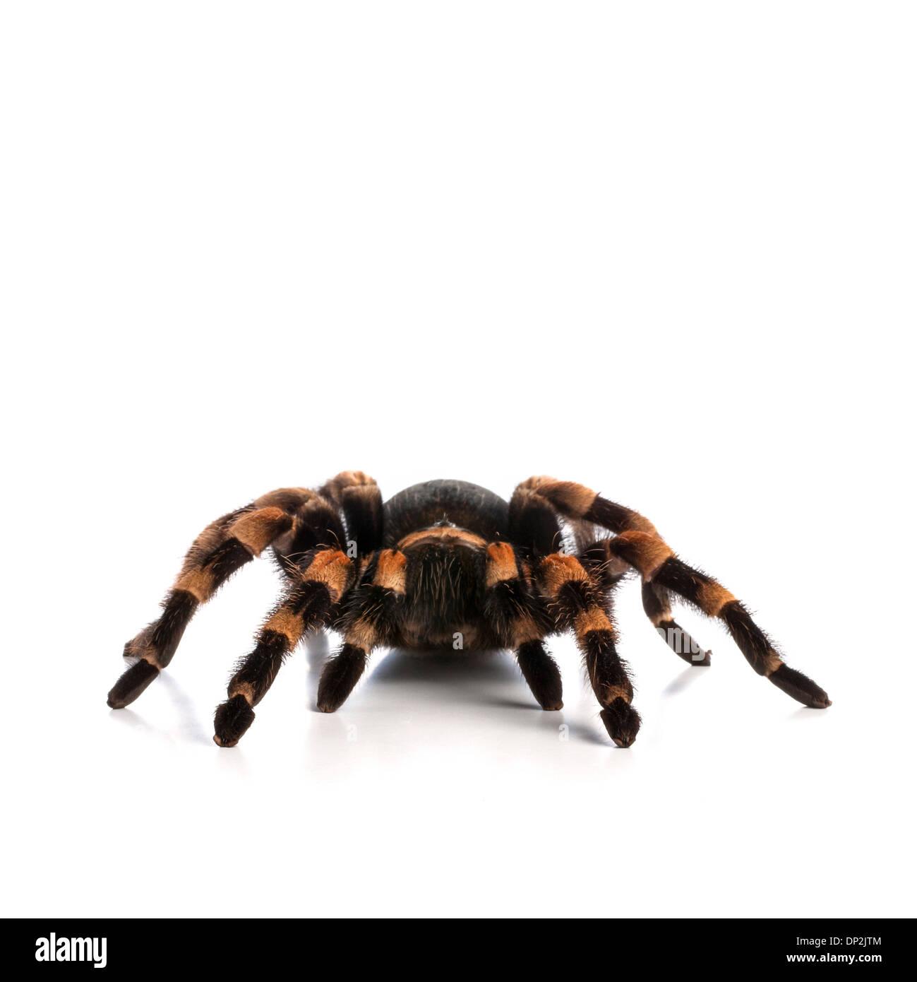 Mexican redknee tarantula - Stock Image