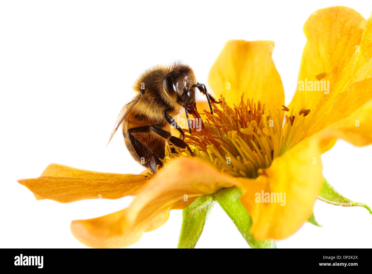Honey bee on a flower - Stock Image