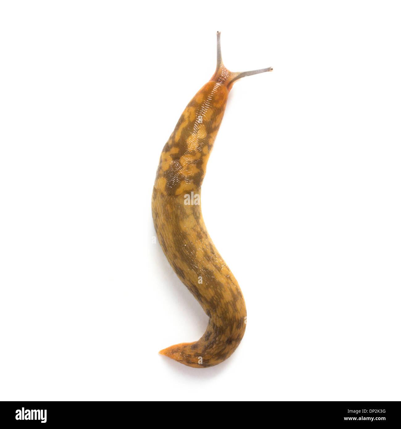 Yellow slug - Stock Image